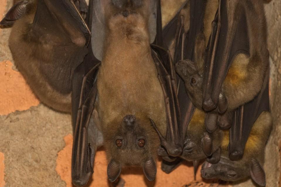 Madagascar bats  by Daniel De Lapelin Dumont