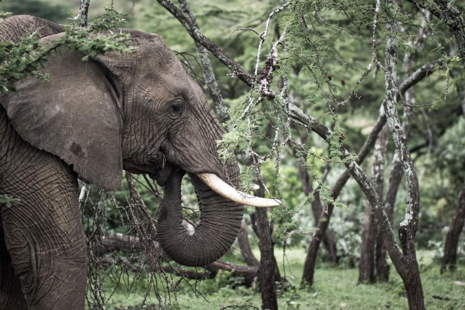 Ol Kinyei elephant  by Stuart Price