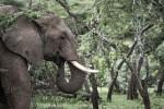 Ol Kinyei elephant