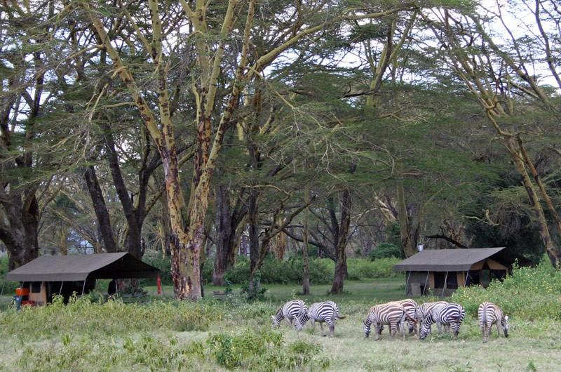 Camp zebras
