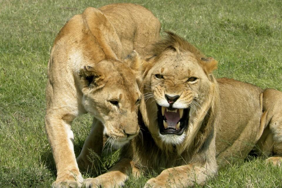 Ol Pejeta lions  by kimvanderwaal