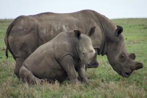 Ol pejeta rhinos by Weldon Kennedy