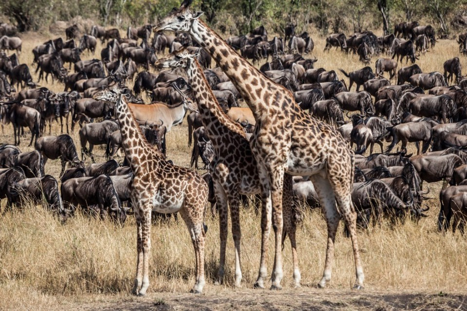 Wildebeest and giraffes