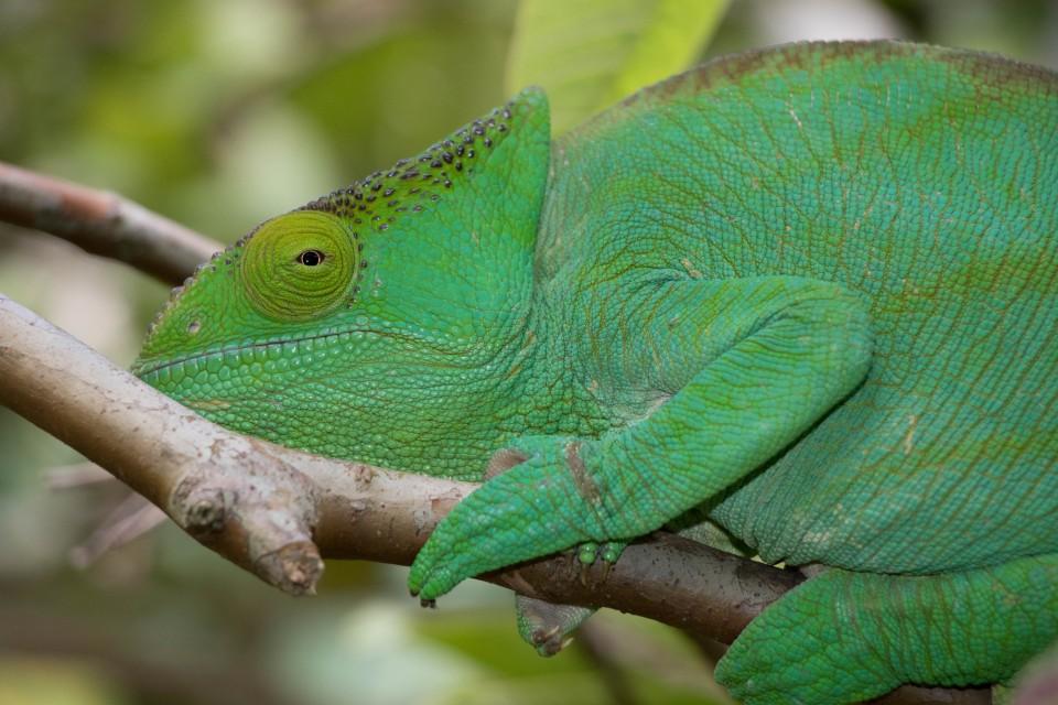 Green chameleon  by Daniel De Lapelin Dumont