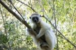 Lemur sighting