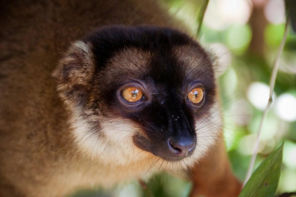 Madagascar lemur  by Giorgio Minguzzi