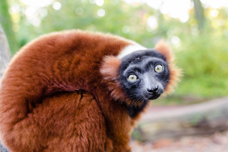 Red-ruffed lemur  by Mathias Appel