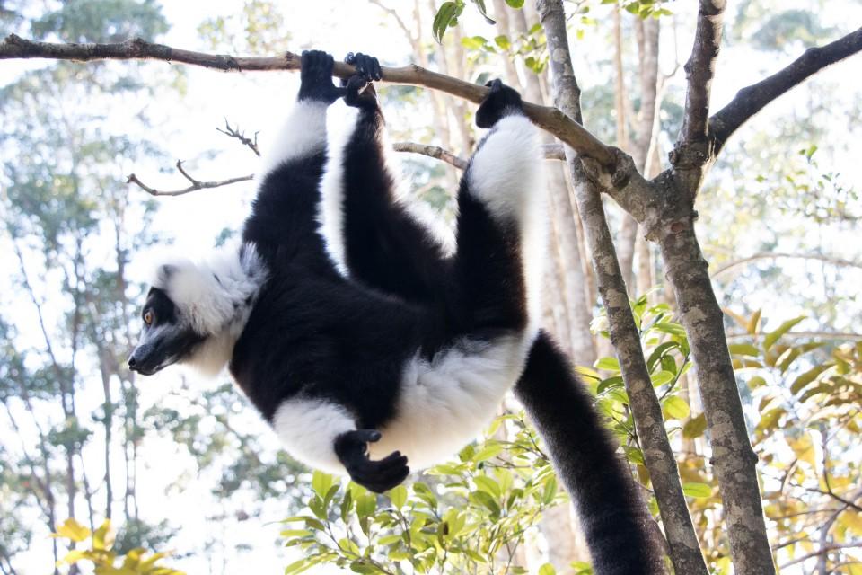 Lemur  by Daniel De Lapelin Dumont