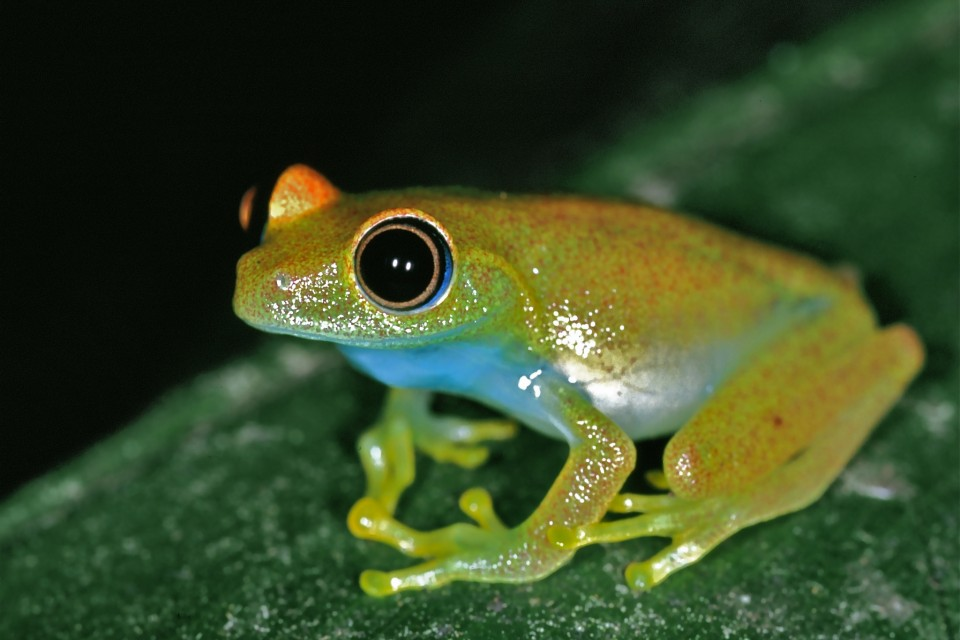 Green Bright-eyed Frog   by Bernard Dupont