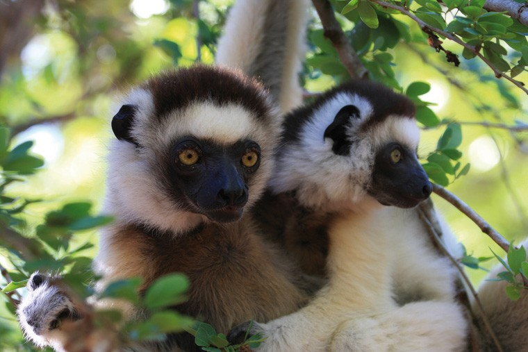 Lemurs in Madagascar image