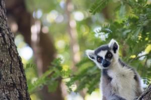 Lemur life by Daniel De Lapelin Dumont