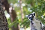Lemur life