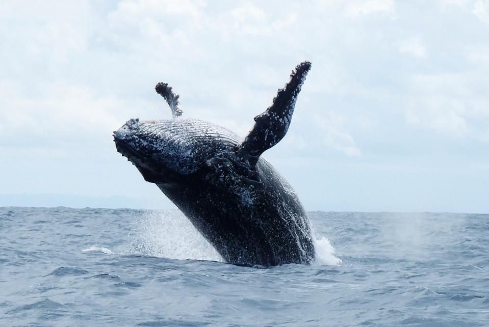 Whale breaching  by krishna naudin