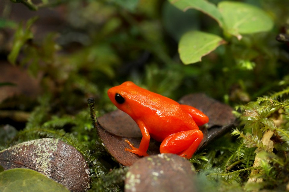 Golden Mantella   by Frank Vassen