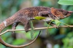 Madagascar chameleon cropped