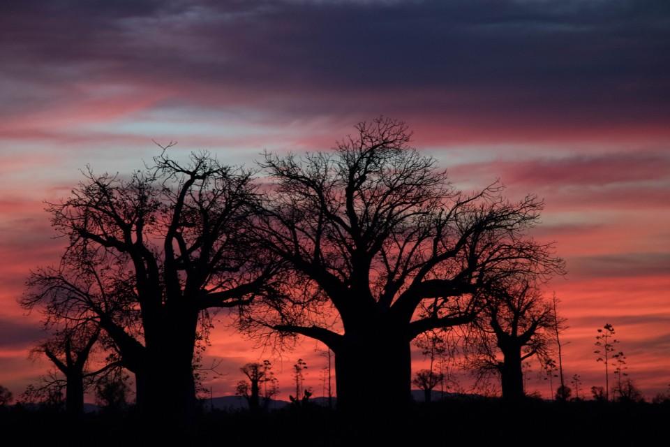 Baobabs  by Daniel De Lapelin Dumont
