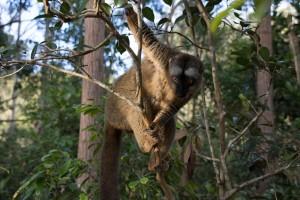 Madagascan lemur by Daniel De Lapelin Dumont