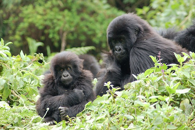 Gorillas in Bwindi  by Joachim Huber
