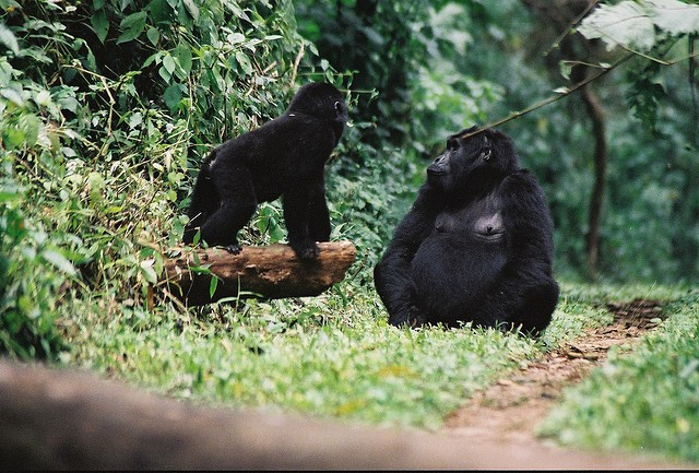 African mountain gorillas  by Cristoffer Crusell