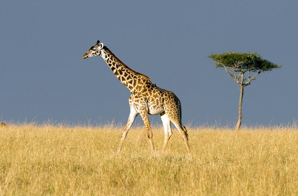 Mara giraffe  by Christopher Michel