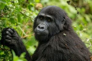 Gorilla in Unganda by Justin Raycraft