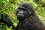 Gorilla in Unganda