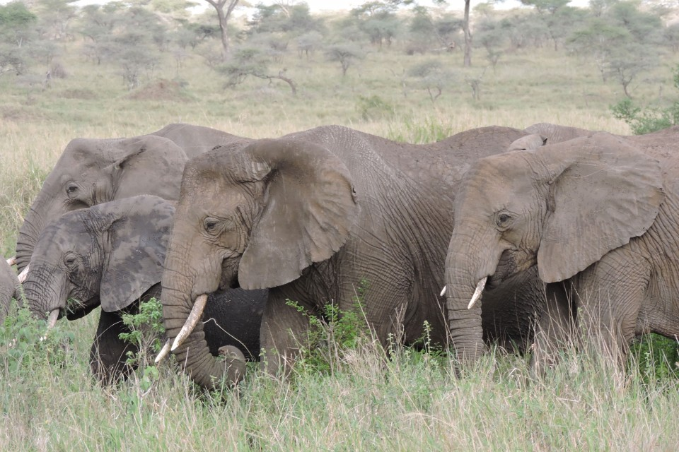 Serengeti elephant herd  by MIke