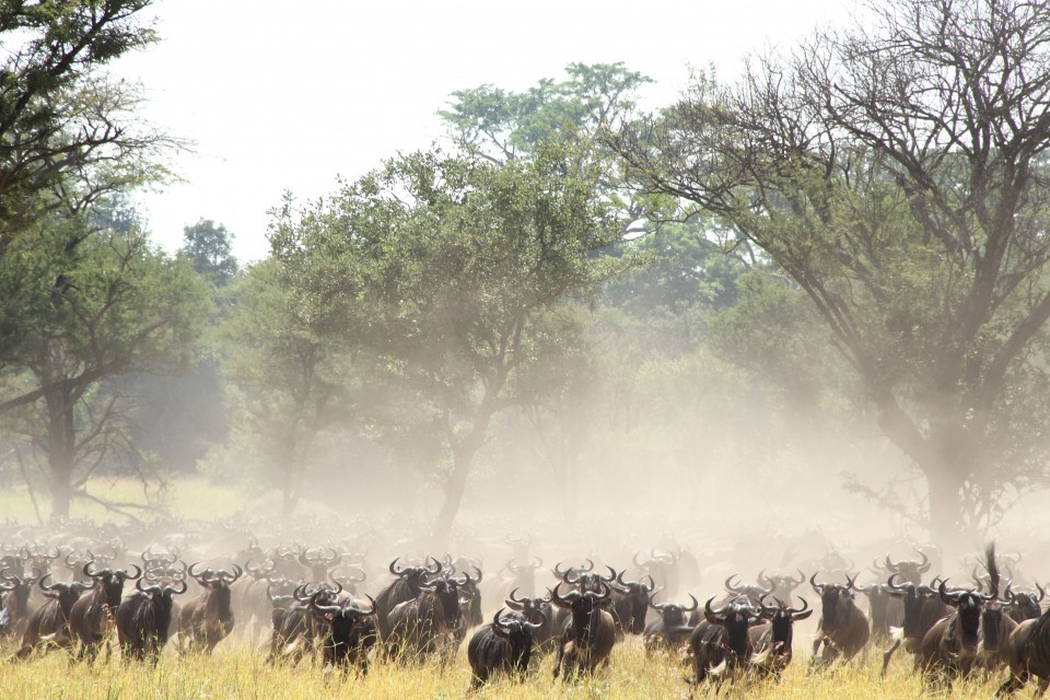Wildebeest migration  by sarahlbishop