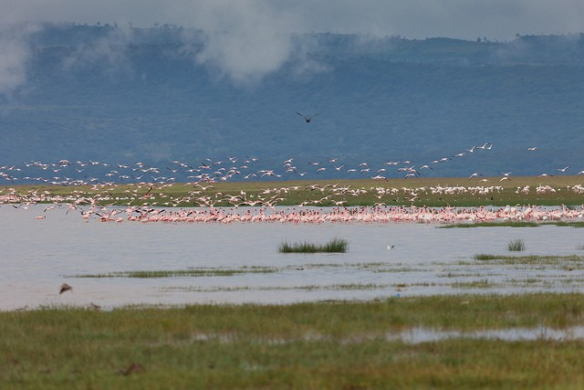 Flamingoes Lake Nakuru  by Andrea Schieber