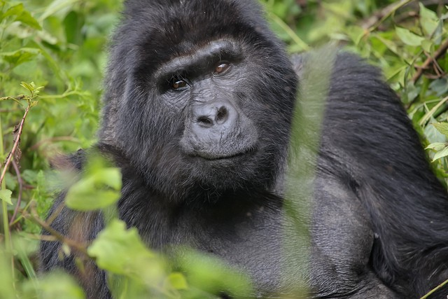 Bwindi gorilla  by Andrea Schieber