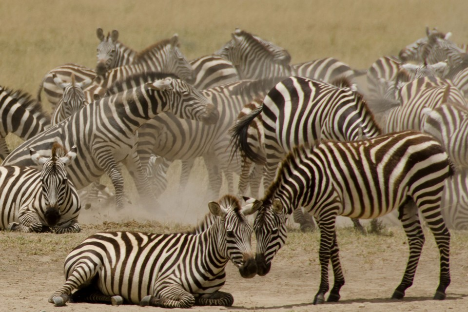Zebra herd  by Colin J. McMechan