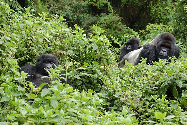 Gorillas  by Joachim Huber