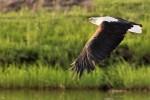 Keats fish eagle