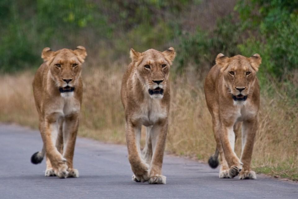 Kruger lions  by amrishwadekar