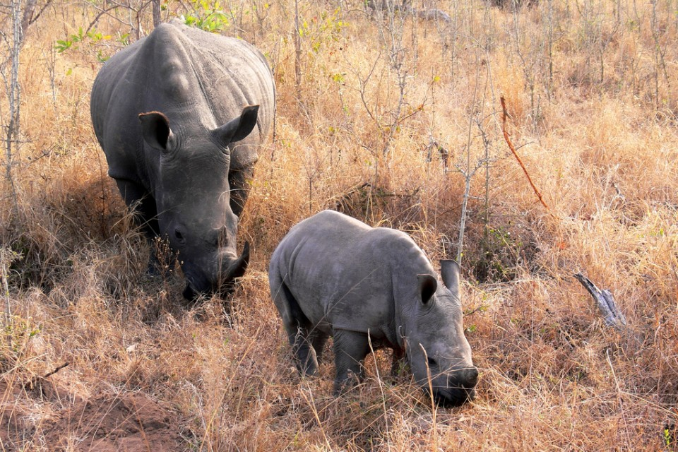 Kruger rhinos  by Violator1