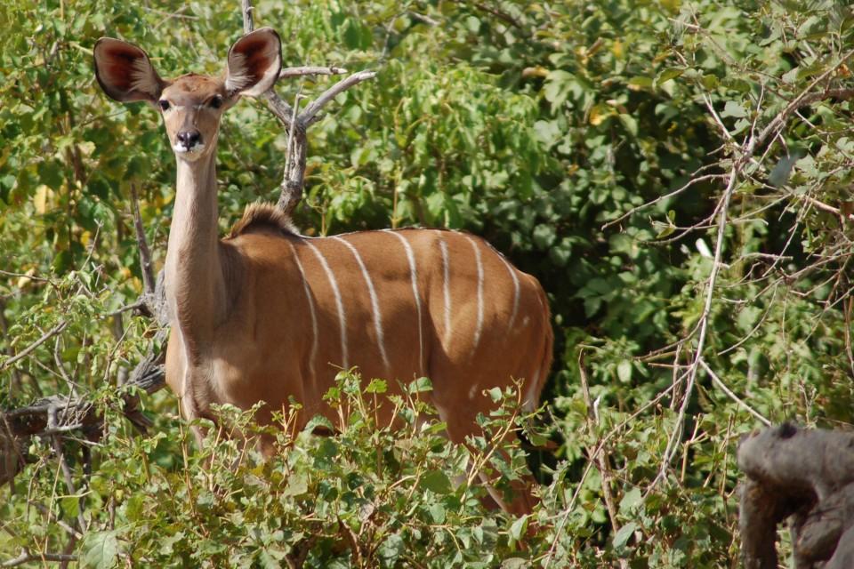 Chobe kudu  by Joachim Huber