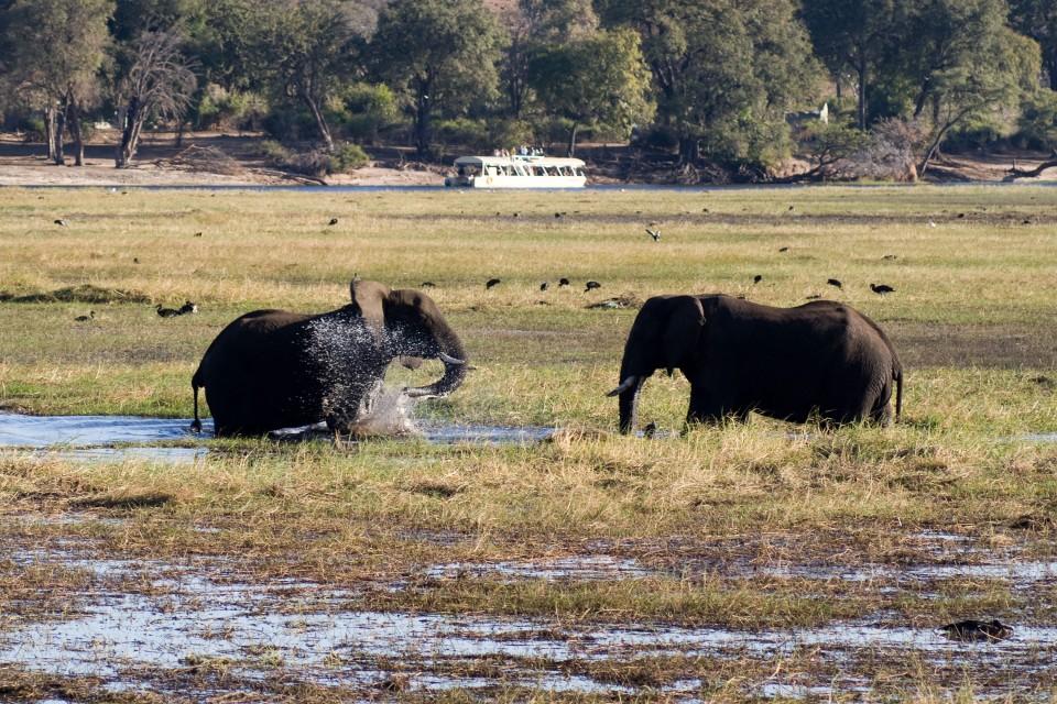 Chobe elephants  by Tim Copeland