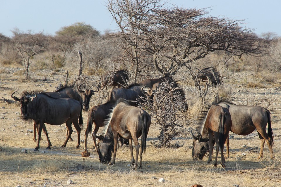 Etsoha wildlife