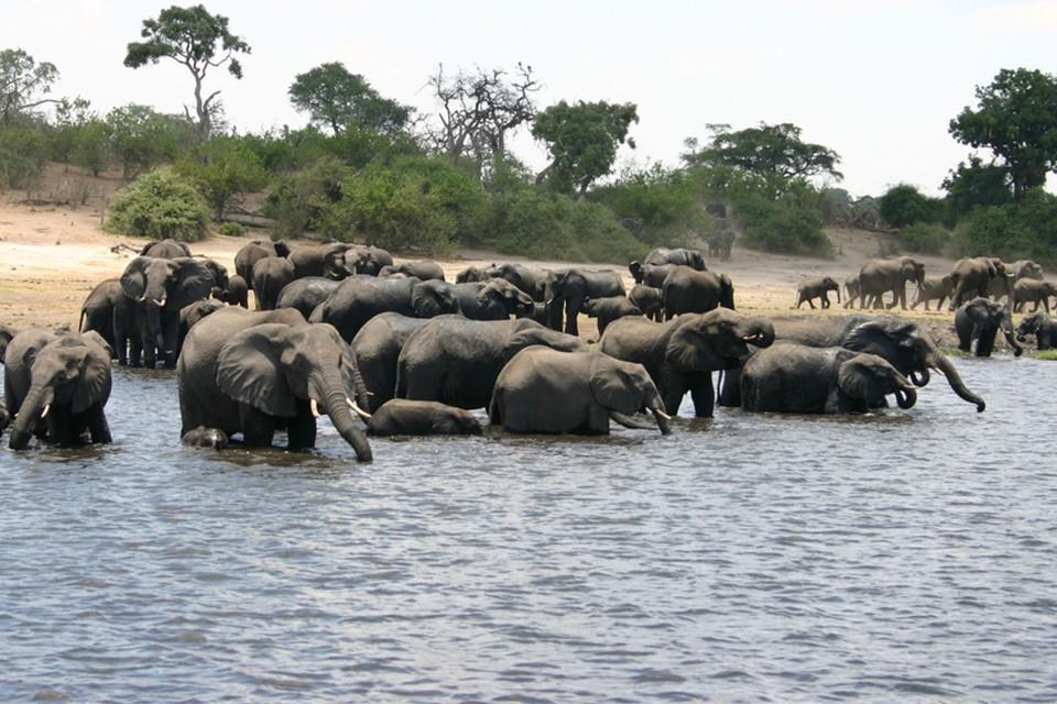 Chobe elephants  by i_pinz