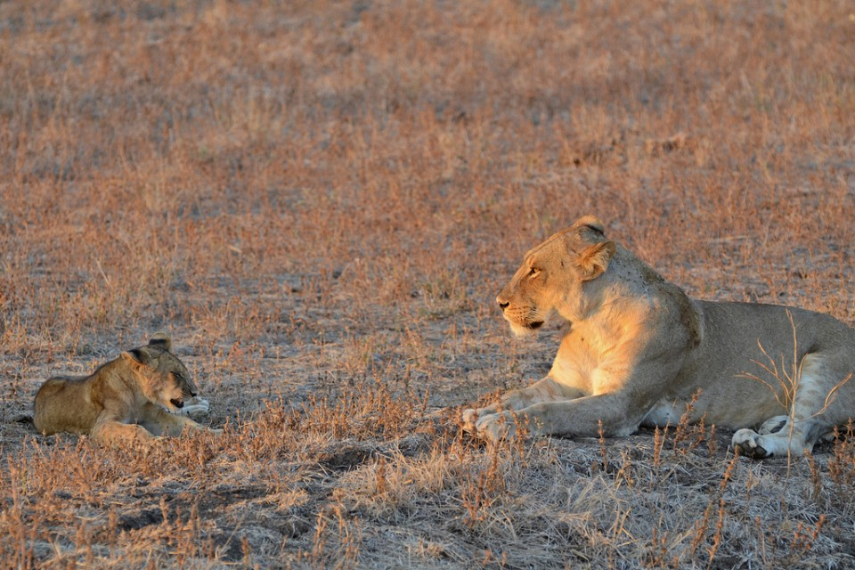 Luangwa lions  by Geoff Gallice