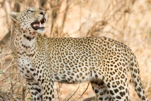 South luangwa leopard-2 by Richard Toller