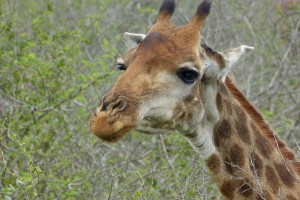 Kruger giraffe
