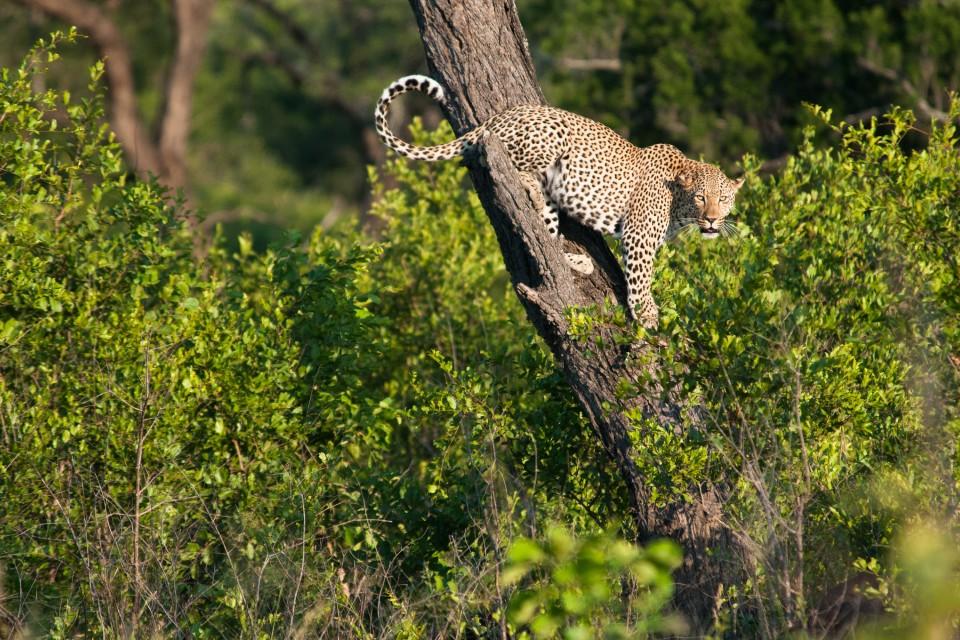 Kruger leopard  by Chris Eason