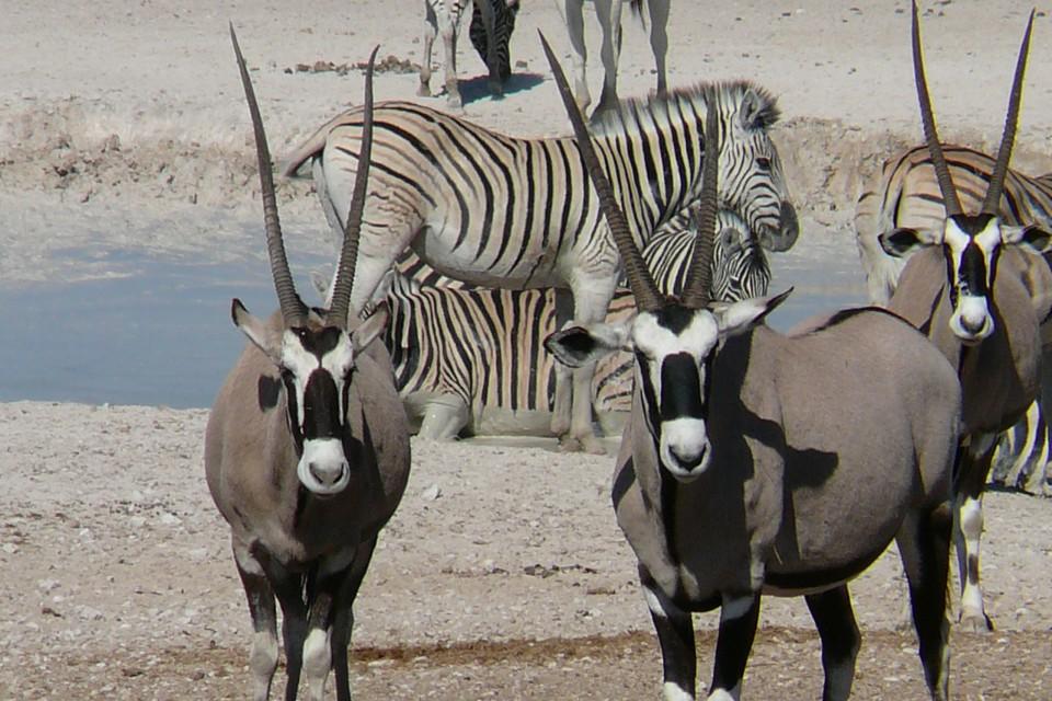 Etosha oryx and zebra