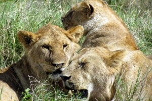 Serengeti lions by David Berkowitz