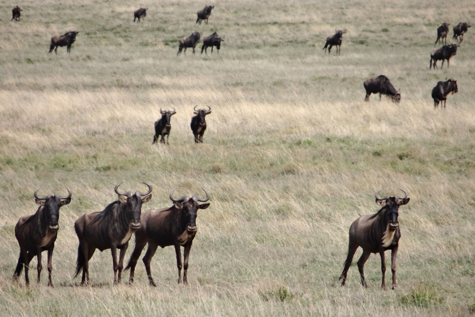 Serengeti wildebeest  by erdbeernaut