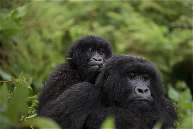 Mountain gorillas  by Ludovic Hirlimann