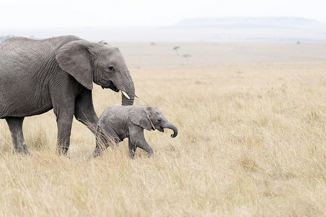 Masai Mara elephants  by  Christopher Michel