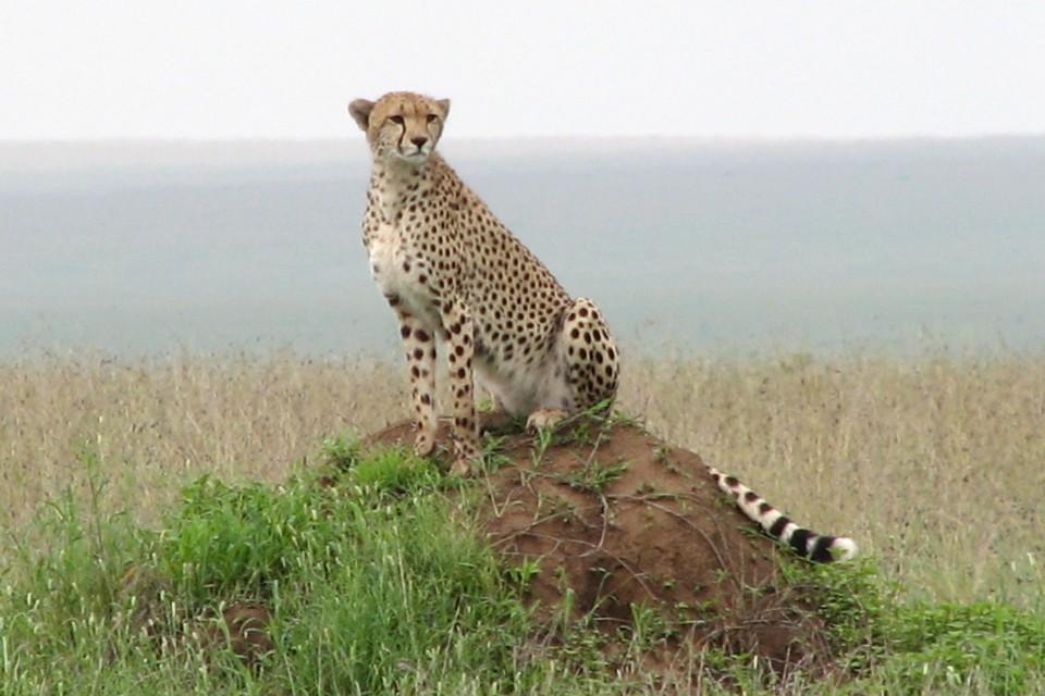 Serengeti cheetah  by NH53