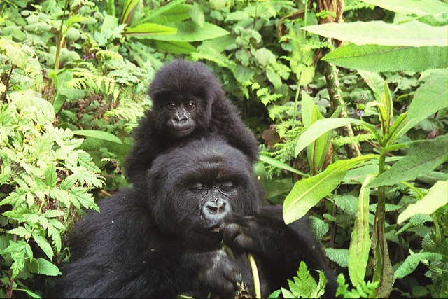 Mountain gorillas  by Naaman Saar Stavy
